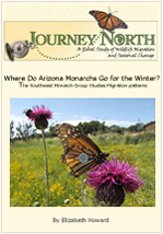 Monarch Butterflies in Arizona