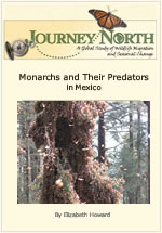 Monarch Butterfly Predators in Mexico