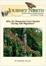 Why Do Monarch Butterflies Form Roosts During Fall Migration?