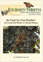 Monarch Butterflies Survive Winter Without Food