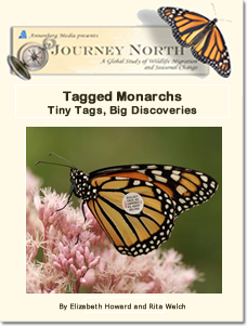 Monarch Tagging: Tiny Tags, Big Discoveries