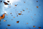 Monarch Butterflies Migrating