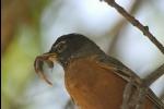 Robin feeding worms
