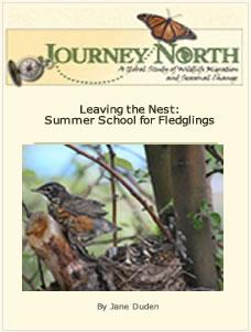 Robin: Fledglings Leaving the Nest