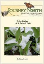 tulip survival slideshow