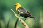 Copyright by the Wisconsin Society for Ornithology