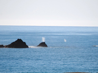 Big Spout and little spout indicate a mother and her baby gray whale migrating at sea.