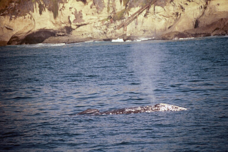 Newborn gray whale calf and mother enroute to Mexcio