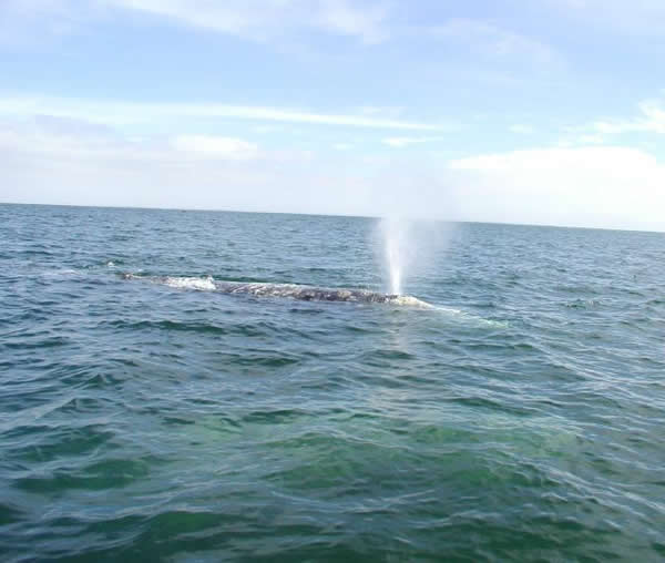 Gray whale blow