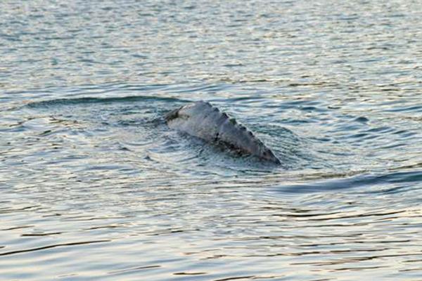 Gray whale pectoral fin