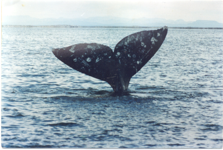 Gray Whales: Glossary