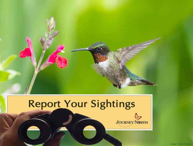 Report Your Hummingbird Sightings