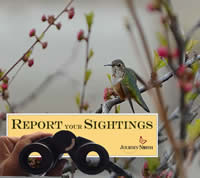 Hummingbird Migration: What to Report