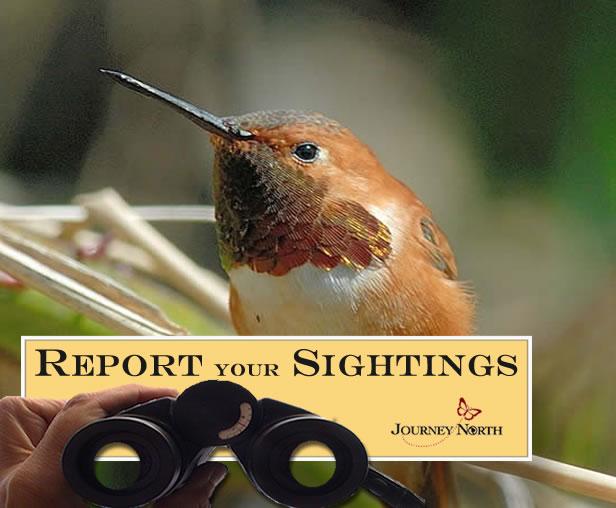 Report Your Sightings of Rufous Hummingbirds
