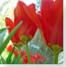 Tulip Test Gardens