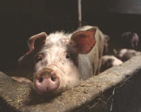 pig-cute-barn-animal-dubai-pork-restriction