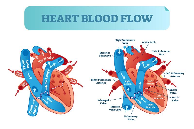 Cardiology - Cardiovascular Anatomy and Physiology ...