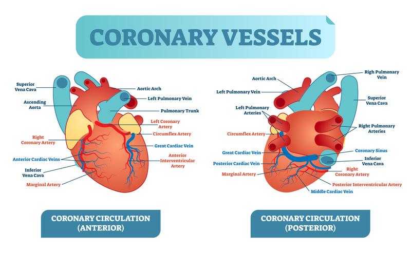 Cardiac Anatomy and Function | MedicTests