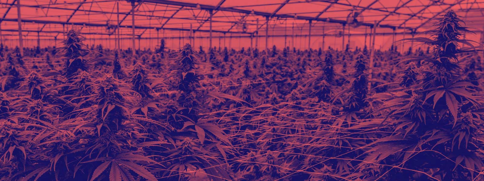 CBD and A Simple Step-by-Step Guide on How to Grow Hemp