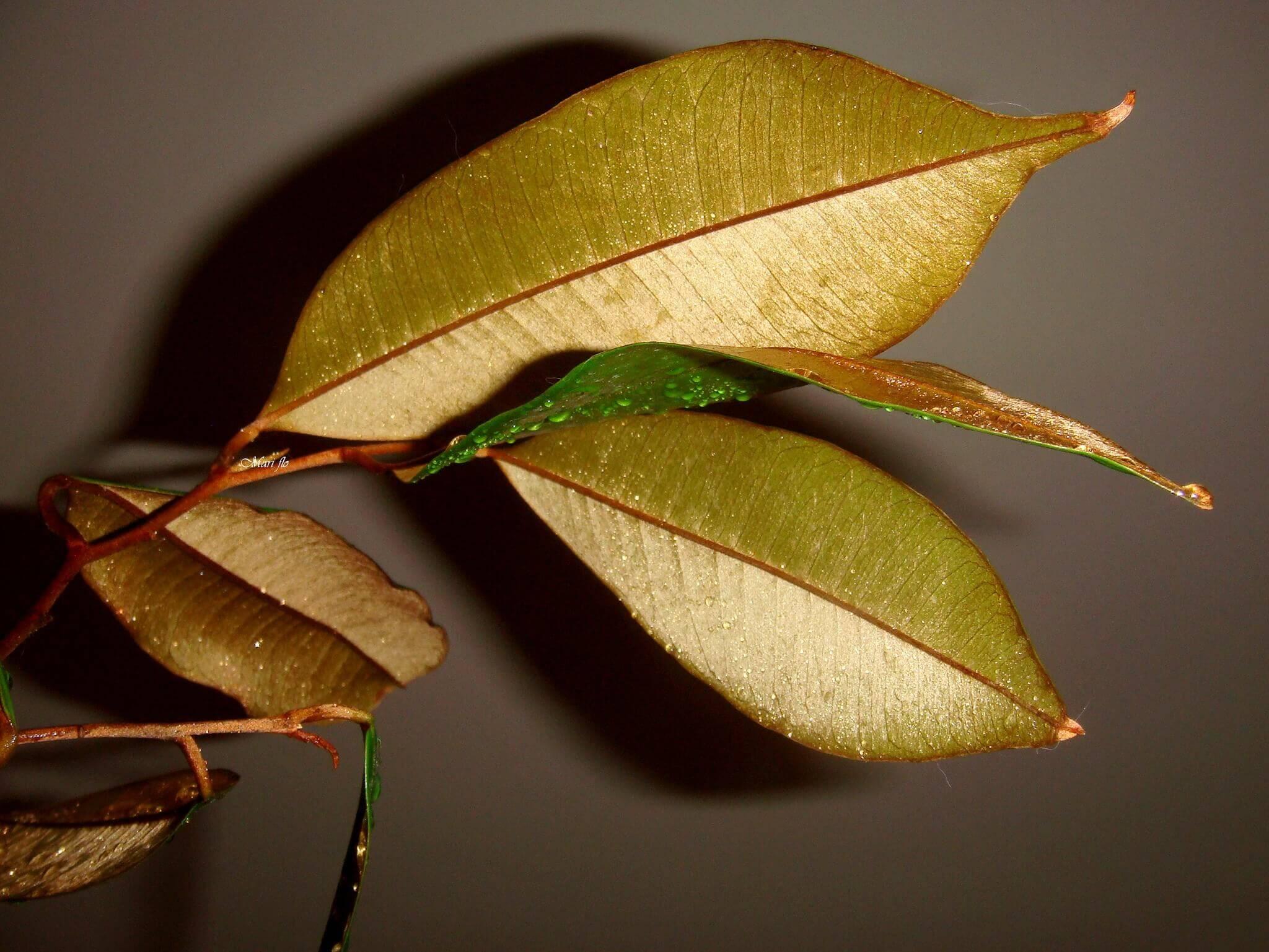 chrysophyllum cainito Define chrysophyllum cainito chrysophyllum cainito synonyms, chrysophyllum cainito pronunciation, chrysophyllum cainito translation, english dictionary definition of chrysophyllum cainito.