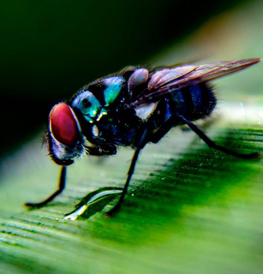 A macro photo of a fly resting on what appears to be a leaf.
