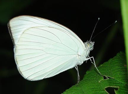 mariposas para liberar ascia munute