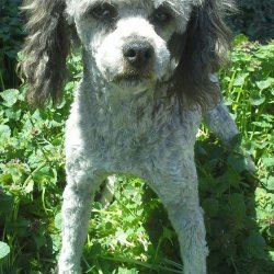 Retired Miniature Poodle 11-26-10