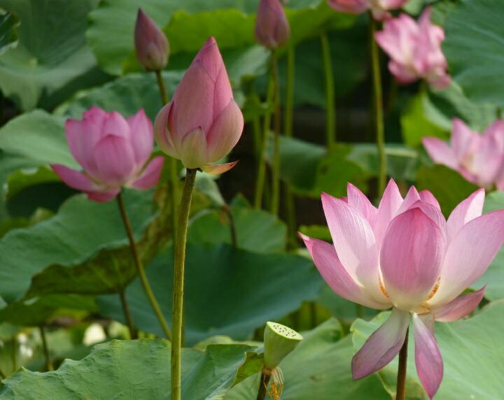 Bunga Lotus Steemit