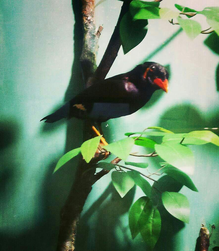 Burung Beo Tiung Talking Myna Steemit