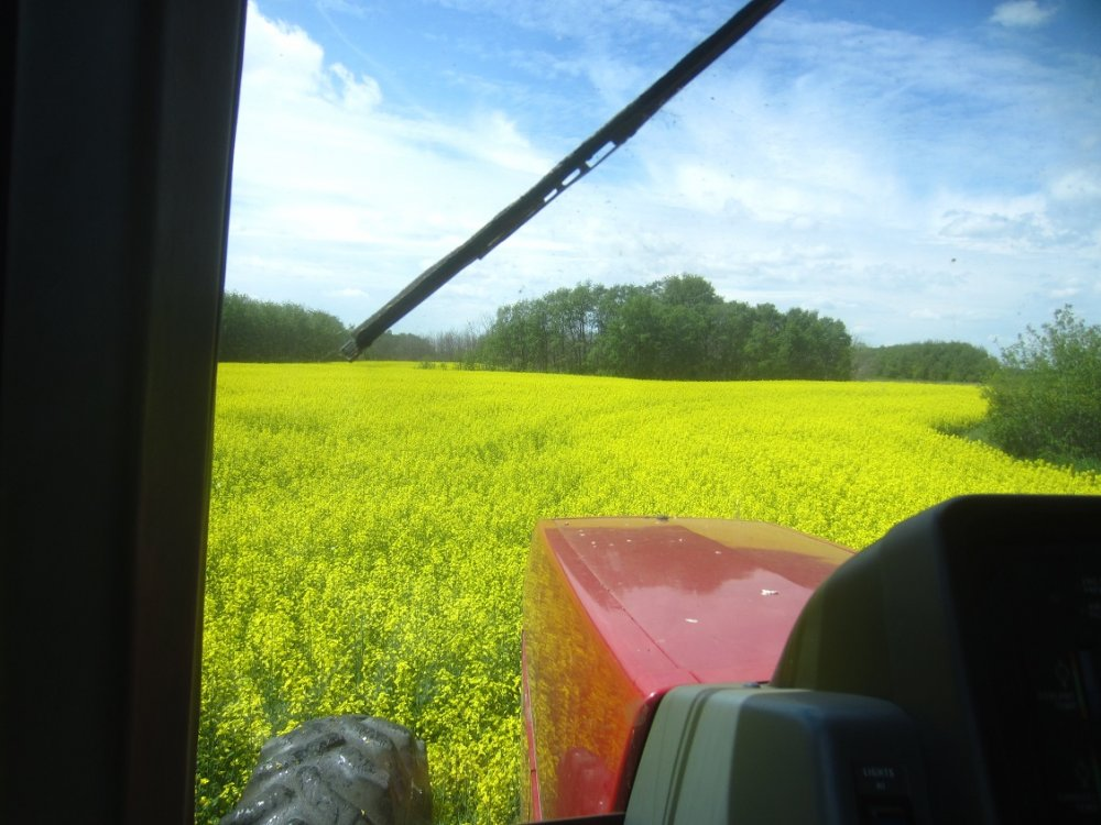 Canola July 8.jpg