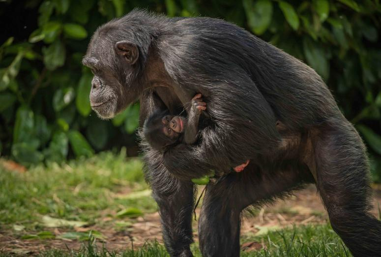 Baby Stevie is the arrival of the decade… for Chester's chimpanzees