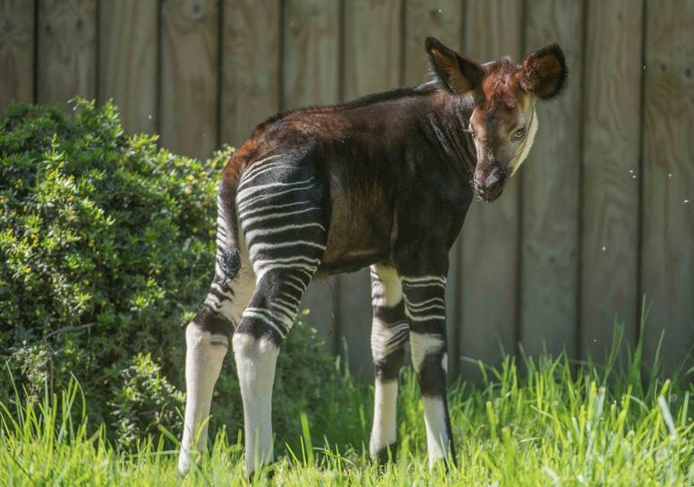 Secretive okapi calf Semuliki is a star in stripes