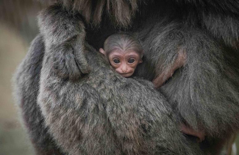Rare silvery gibbon adds to record baby boom at the zoo