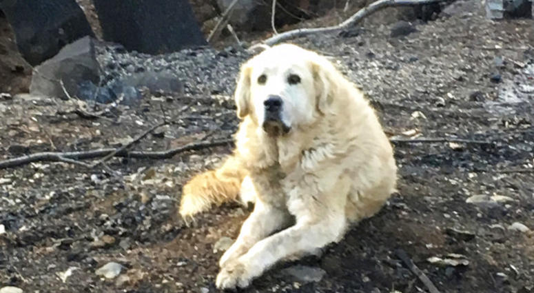 """Madison,"" the Anatolian shepherd dog that apparently guarded his burned home for nearly a month until his owner returned"
