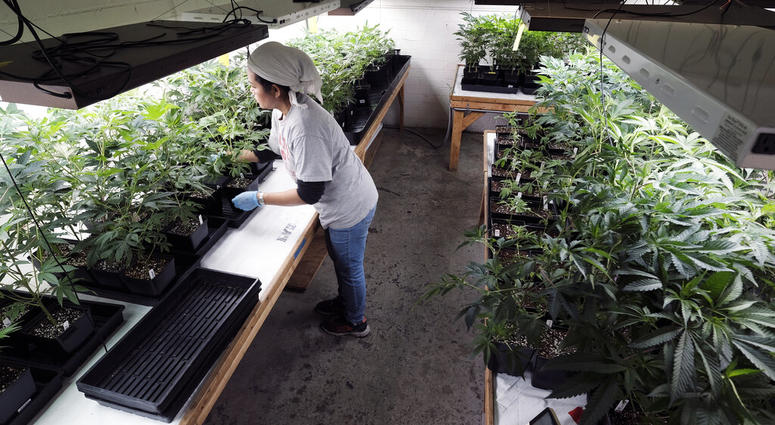 a grower at Loving Kindness Farms attends to a crop of young marijuana plants in Gardena, Calif.