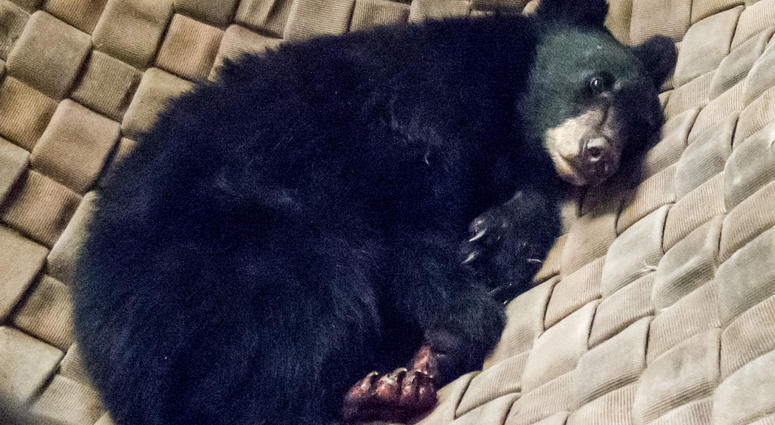 Bear Cub Rescued from Deadly California Wildfires with Burned Paws