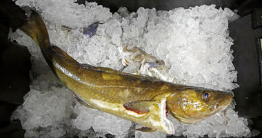 a cod to be auctioned sits on ice at the Portland Fish Exchange, in Portland, Maine