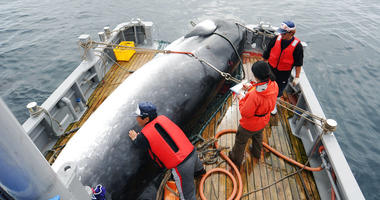 Japan says it is leaving the International Whaling Commission to resume commercial hunts