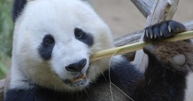 Zoo Throws Educational Panda Party for Visiting Resident 'Mr. Wu'