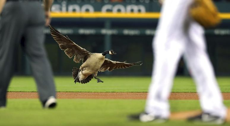 Canada Goose at Detroit Tigers Game