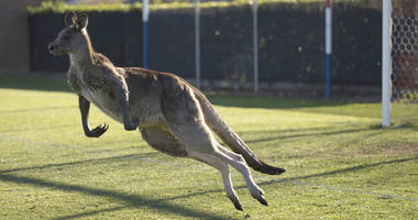 Kangaroo Interrupts Women's Premier League