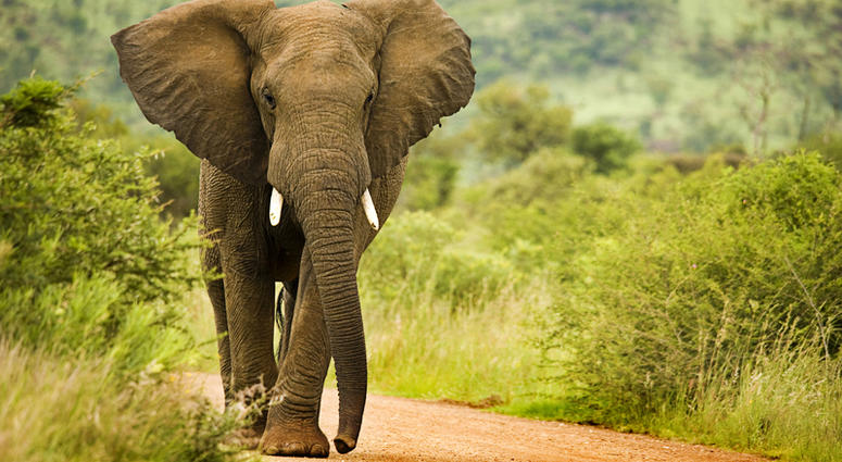 African elephant bull walking on a sand road through the wilderness.