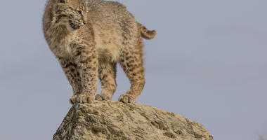 Check Out How Far This Bobcat Can Leap