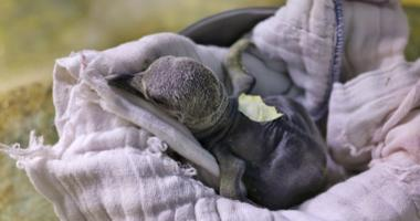 King penguin chick hatches at KC Zoo during snowstorm, named 'Blizzard'
