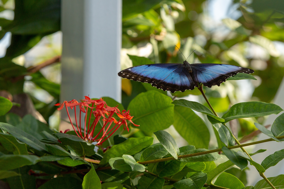 Free admission to Butterfly House if Blues win 12 in a row!