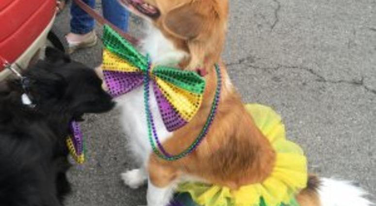 Dog in festive mardi gras costume at pet parade & Pets and Owners Show Mardi Gras Spirit at Begginu0027 Pet Parade | KMOX-AM
