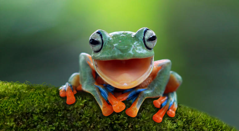 Tree frog, Beautiful flying frogs funny with open big mouth