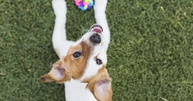 Cute young small dog playing with his toy, a ball and looking at the camera.Pets. Green grass background
