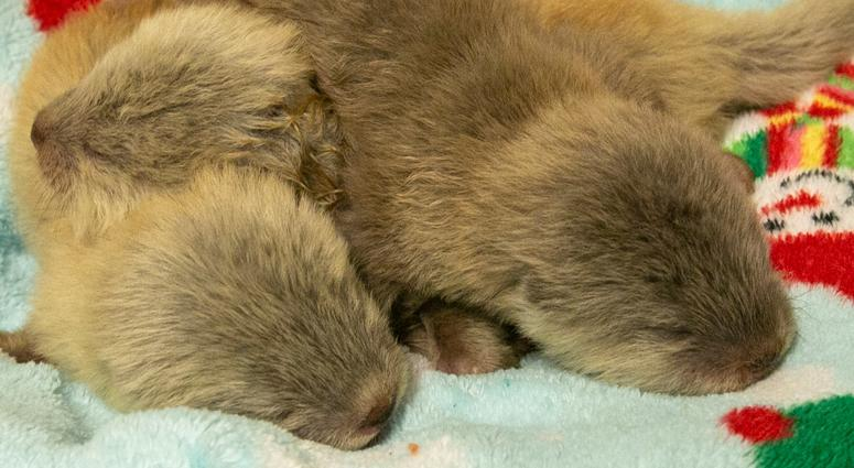 KC Zoo Features Newborn Otter Triplets on Otter Cam