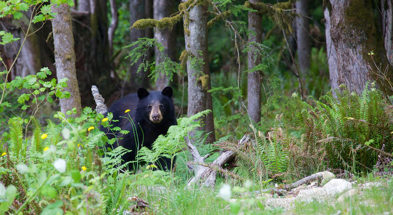 The American black bear is a medium-sized bear native to North America. Black bears are omnivores with their diets varying greatly depending on season and location
